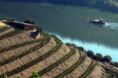 Líneas de vino junto al Duero