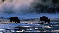 En busca de búfalos, osos y lobos