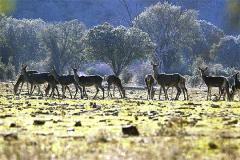 Ciervos y buitres en el Guadarranque