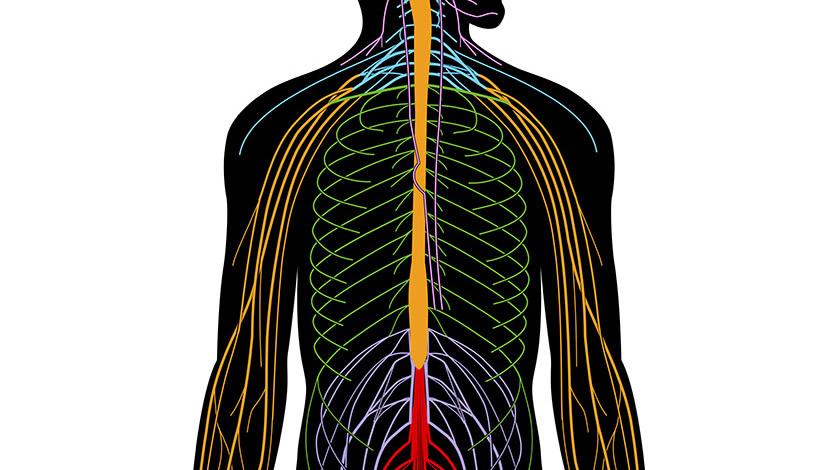 No hay nervios con el sistema nervioso periférico