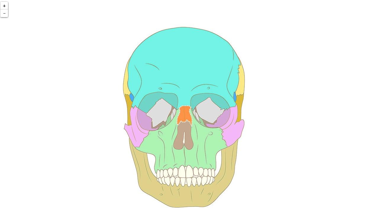 Ossa del cranio, vista esterna (Semplice)