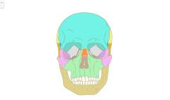Ossos del crani humà de front (Primària)