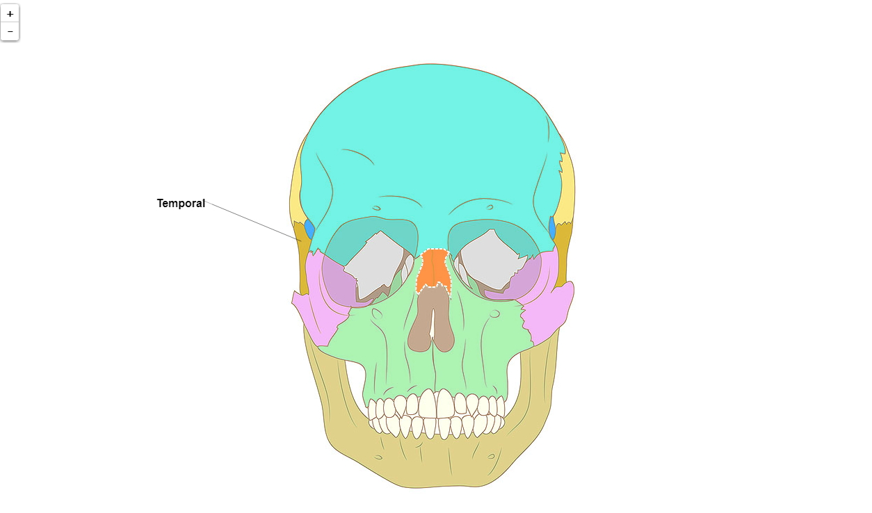 Huesos del cráneo humano, vista de frente (Primaria)