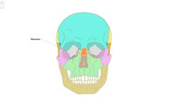 Die Knochen des Schädels, vista frontale (Leicht)