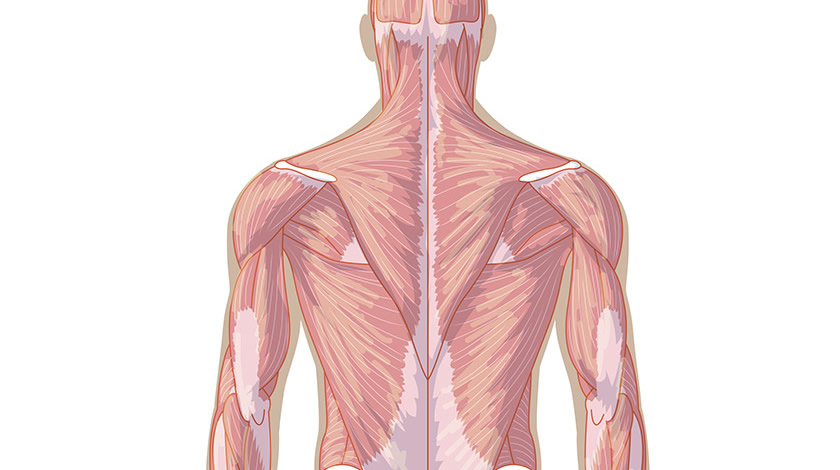 Muscular system, back view (Normal)