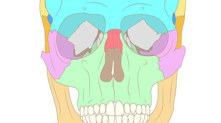 Human skull bones, front view