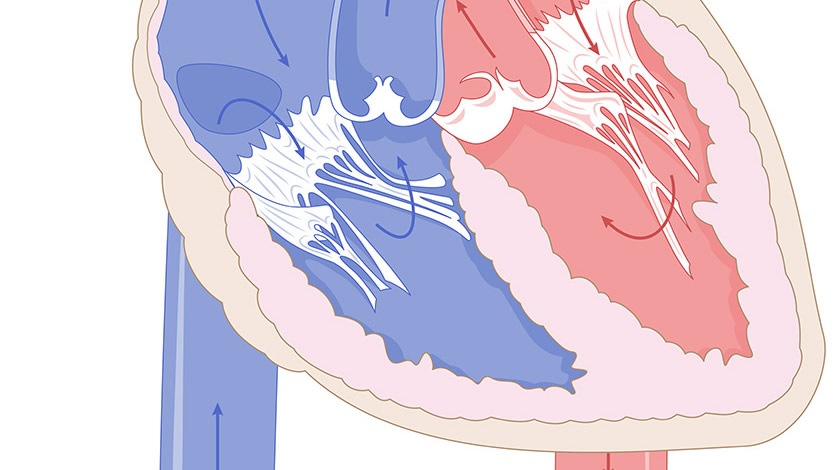 Heart, cross section (Normal)