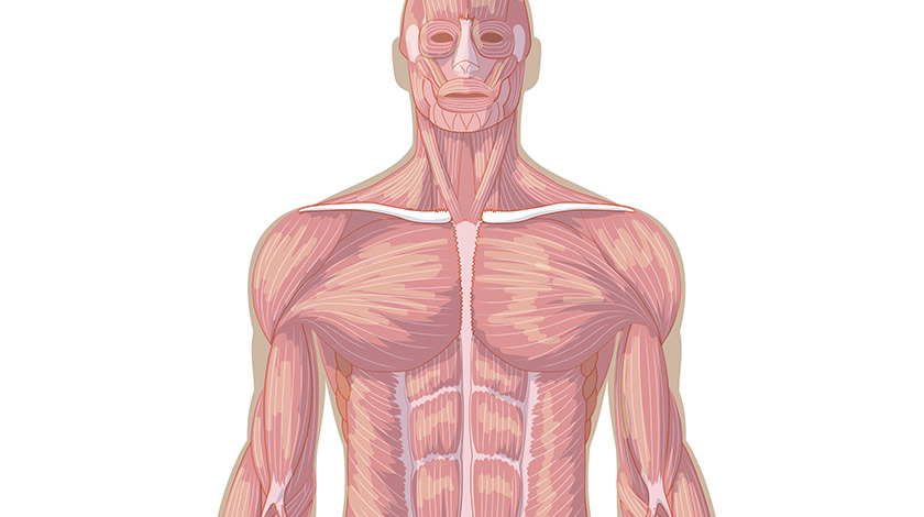 Muscular system, front view (Easy)