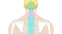 Squelette humain, vue de dos (Facile)