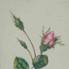 Rosa de musgo