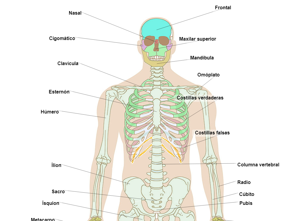 Human skeleton, front view (Normal)