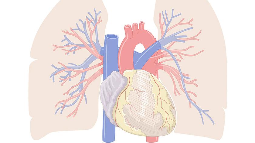 Coração, seção external (Fácil)