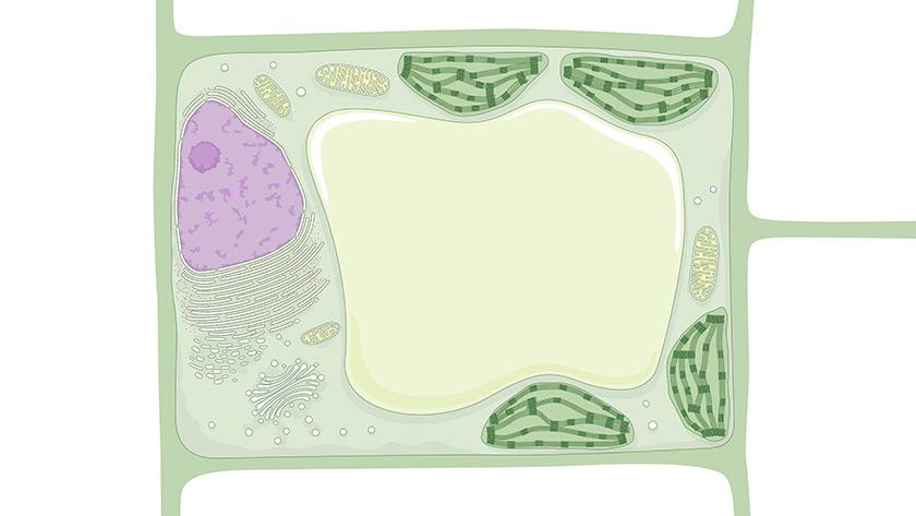 ¿Citoplasma? ¿Mitocondria? ¿Son componentes de la célula vegetal?