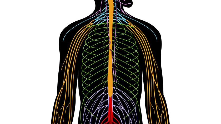Peripheral nervous system (Normal)
