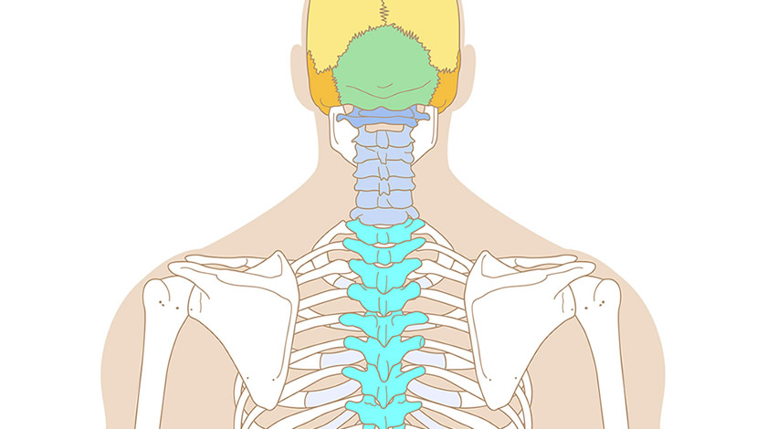 Human skeleton, back view (Easy)