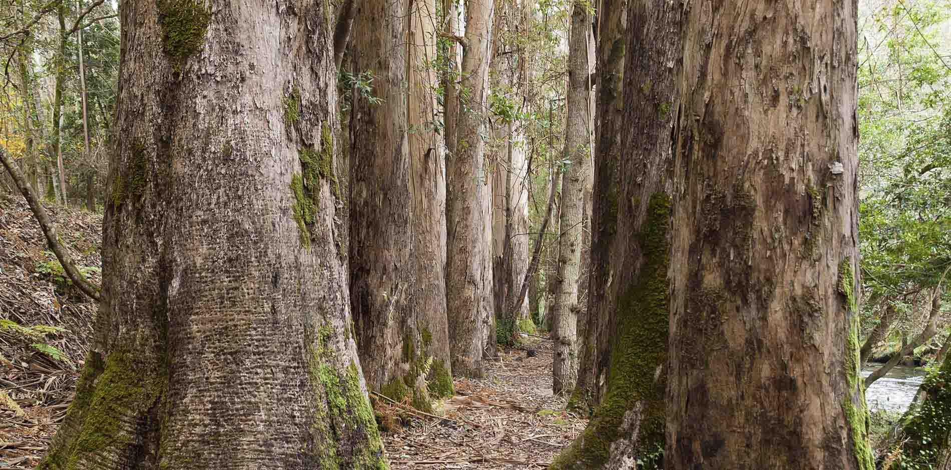 Garnica_plywood_eucalyptus_1
