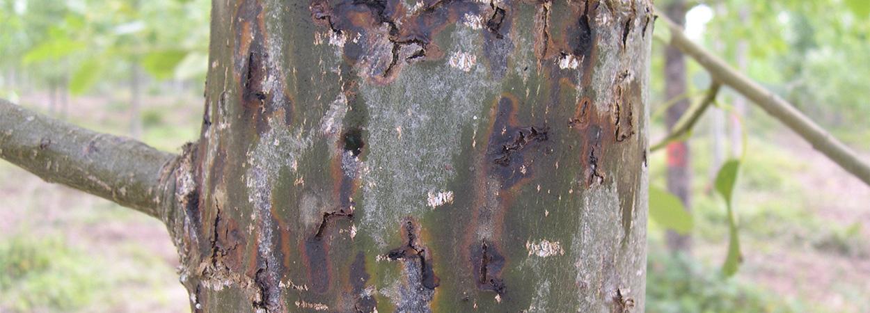 El escarabajo Trypophloeus sp (Bark Beetle), un mal enemigo para los chopos
