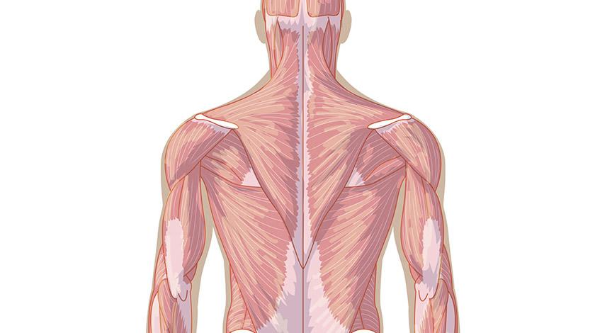 Músculos del cuerpo, vista de espaldas (Secundaria-Bachillerato)