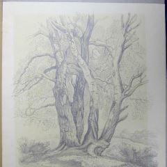 Abedules en Bramshill, Hampshire (Inglaterra)