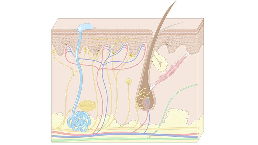Somatosensory system: The skin (Easy)