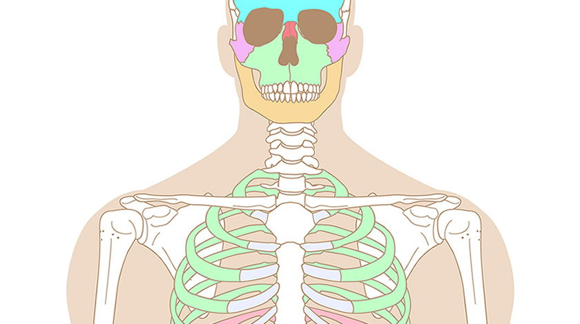 Human skeleton, front view (Easy)