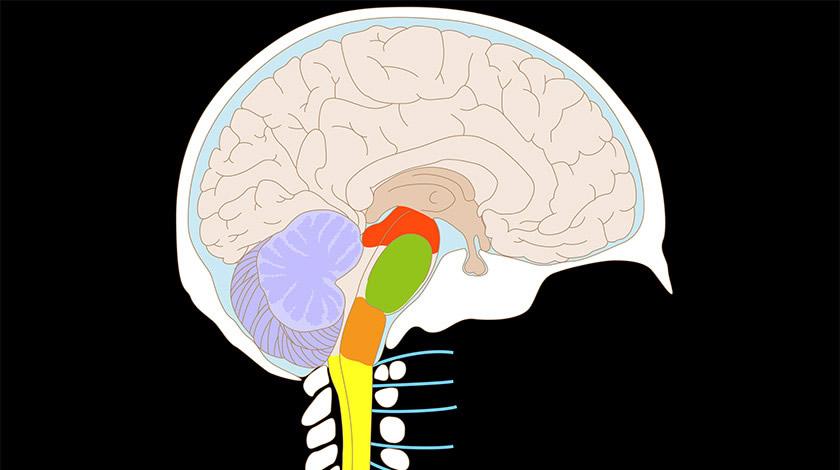 ¿Qué compone el sistema nervioso central?