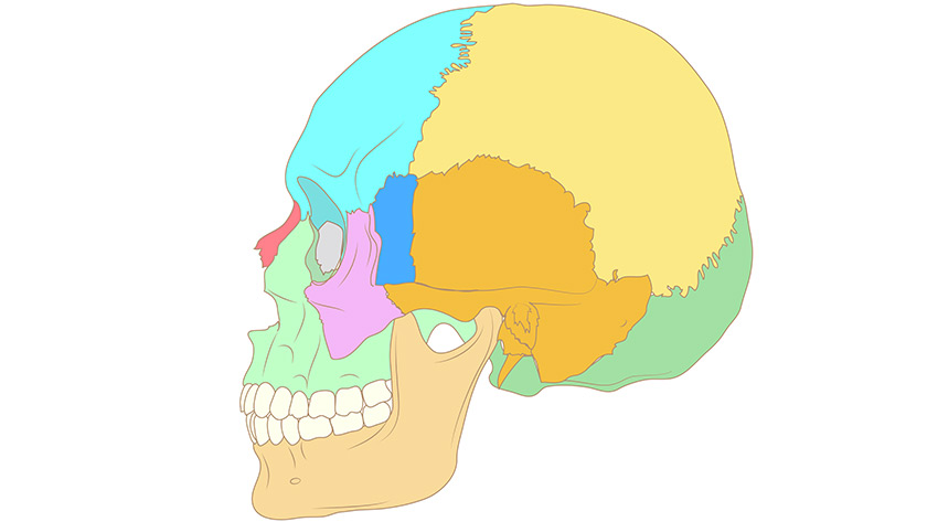 Human skull bones, cross section (Normal)
