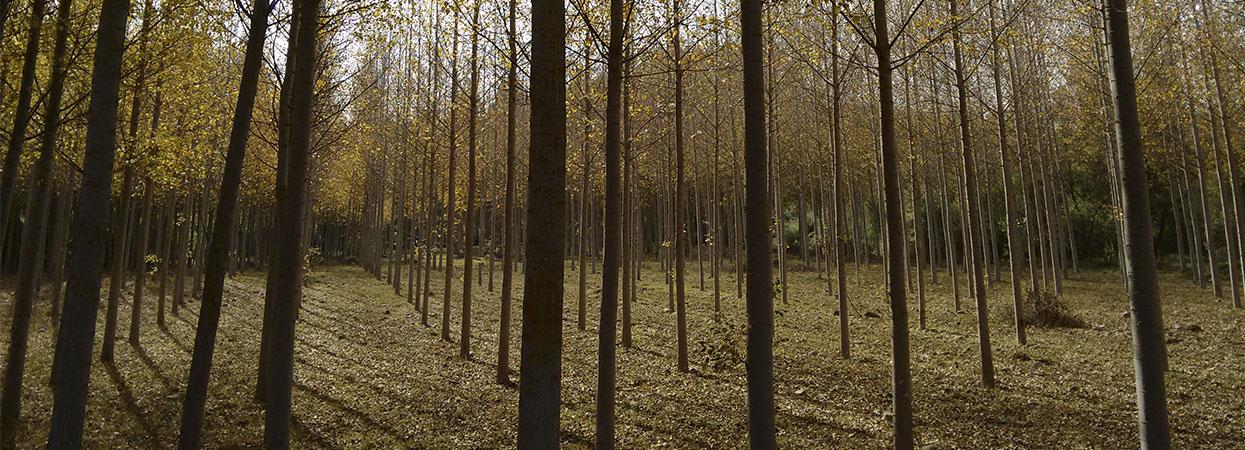 El chopo, el árbol más productivo de La Rioja (I)