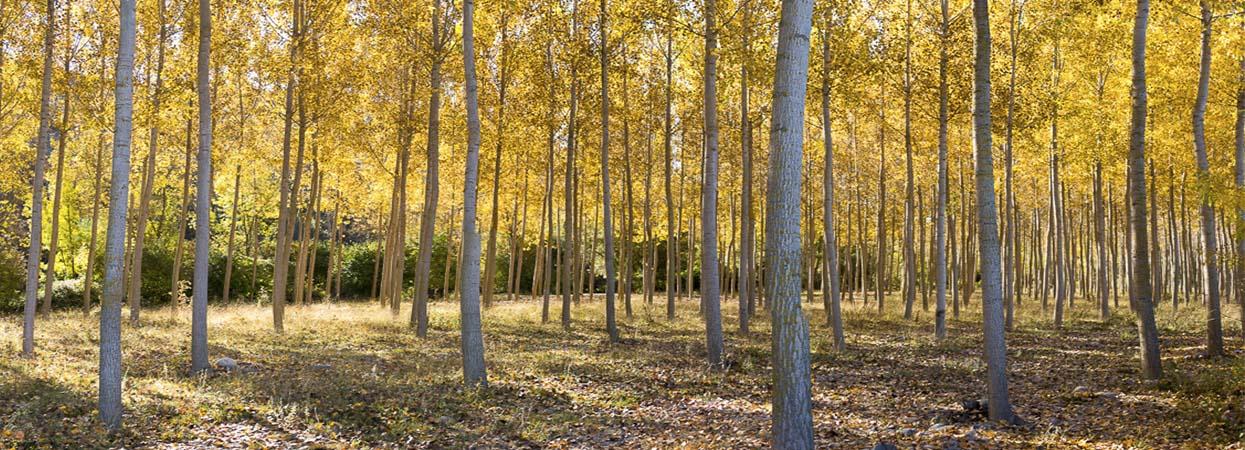 Bosques y Ríos, una compañía que investiga para mejorar los chopos
