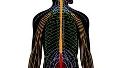 Peripheral nervous system (Hard)
