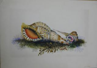 Pareja de caracoles marinos