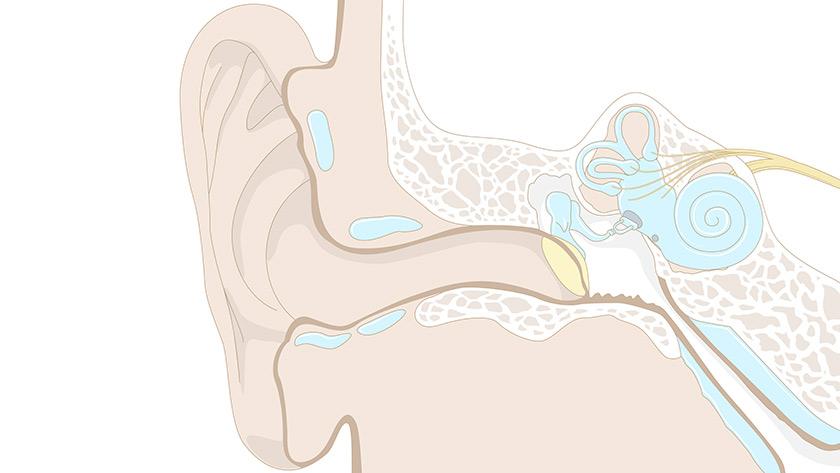 Sentido do oído: O oído (Primaria)