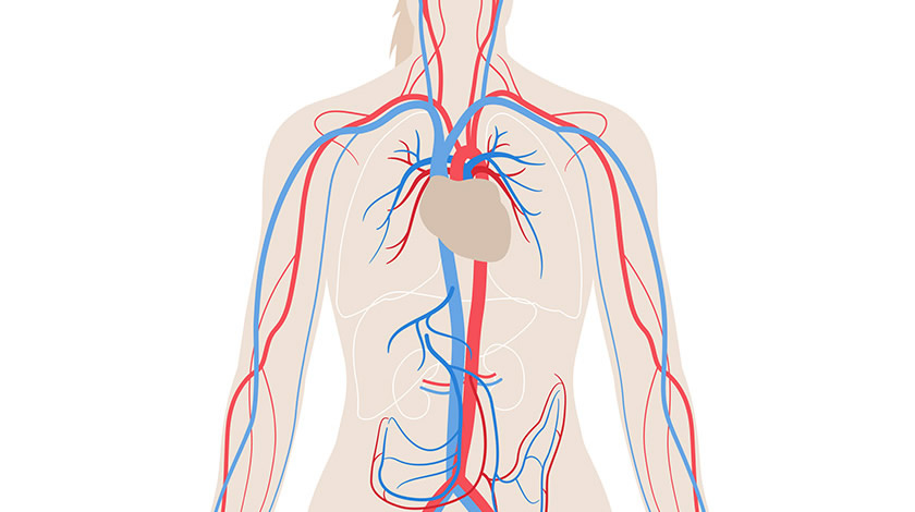 Veins and arteries (Normal)