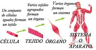 Células, tejidos, órganos, sistemas y aparatos del cuerpo humano