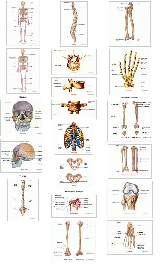 Esqueleto humano. Saludalia
