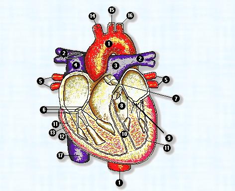 Anatomía del aparato circulatorio
