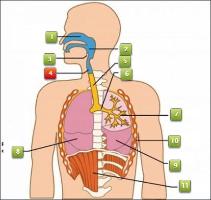 Juego Interactivo del Aparato Respiratorio por Ernesto Rodriguez (Educaplay)
