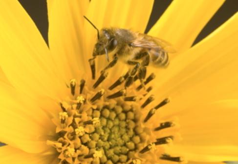 Síndrome de despoblamiento de colmenas. Pruebas liberadas PISA. Biología (2015)