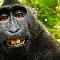 macaco kong