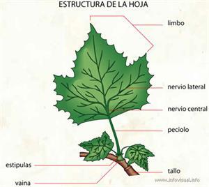 Hoja (Diccionario visual)