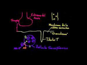 Rol del retículo sarcoplásmico en las células musculares (Khan Academy Español)