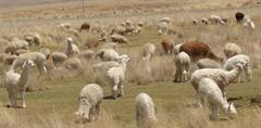 Las  70  alpacas o  sumas  y  divisiones  de  unos  pastores - Elmo Ledesma Zamora (PerúEduca)