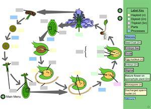 Life Cycle of an Angiosperm (Ciclo de vida de las Angiospermas). BIO-DiTRL