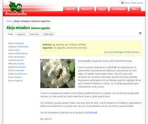 Abeja minadora Andrena angustior (Andrena angustior)