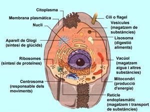 Molècules, cèl·lules, teixits, òrgans, sistemes i aparells