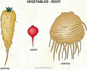 Vegetables - root (2)  (Visual Dictionary)