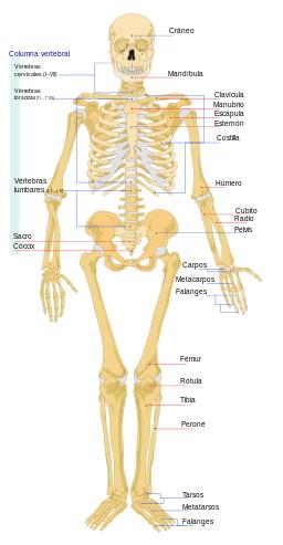 Vistas frontal y trasera del esqueleto humano (Wikimedia Commons)
