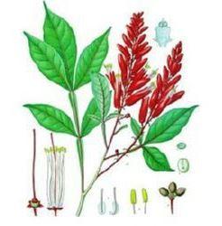 La Planta del Cardamo