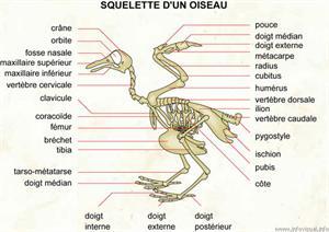 Squelette d'un oiseau (Dictionnaire Visuel)