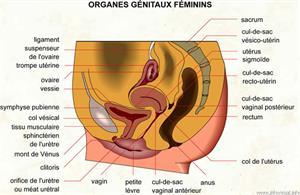Organes génitaux féminins (Dictionnaire Visuel)